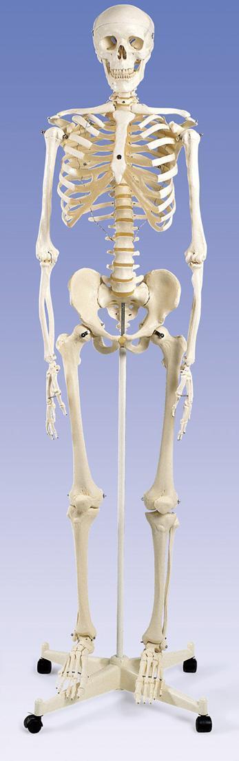 3b scientific - 3b scientific - human skeleton model - education, Skeleton
